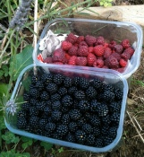 harvest fruit for jam making